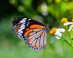 butterfly fly in morning nature on flower