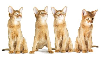 Abyssinian kitten looking