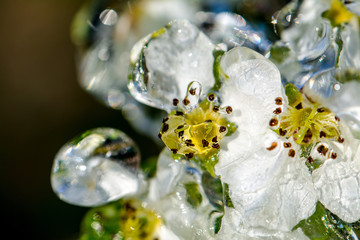 Pear tree blossoms covered in ice after a failed attempt to save them from frost with a sprinkler set up overnight.