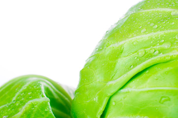 Fresh green cabbage with open leaves isolated on white background.