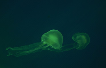 Small jellyfishes illuminated with blue light swimming in aquarium.