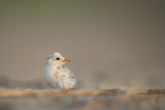 An incredibly cute and tiny Least Tern chick sits on the beach as the soft early morning sun shines on it.