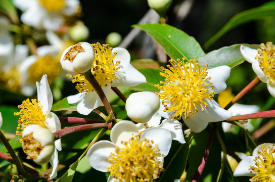 Group beautiful white flowers with yellow carpel on the tree of Calophyllum inophyllum or Alexandrian Laurel
