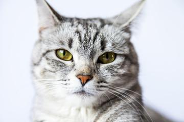 The attractive gray cat looks around