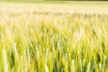 Getreide 20 - Feld