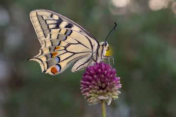 Farfalla Papilio machaon