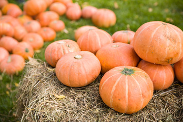 Pile of cute pumpkins at pumpkin patch. Seasonal Pumpkins outdoors. Background for fall, autumn, Halloween, Thanksgiving, seasonal display, concept.