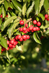 Farm Fresh Cherries Sweet Fruit Vine Cherry Tree Farm Agriculture
