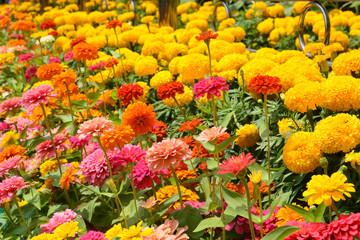 Flowers zinnia, flowers background, Marigold Flowers.