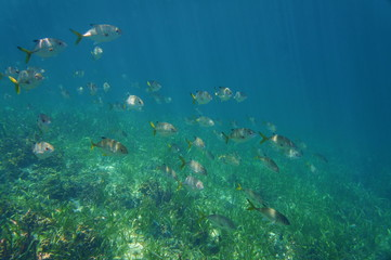 A school of fish horse-eye jack, Caranx latus, above a grassy seabed, Caribbean sea, Central America, Panama
