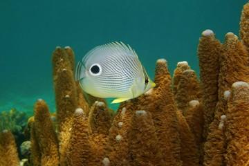 Tropical fish, a foureye butterflyfish, Chaetodon capistratus, underwater in the Caribbean sea