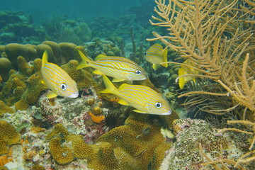 Tropical fish French grunt, Haemulon flavolineatum, underwater in a coral reef of the Caribbean sea