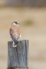 Patient/Kestrel Nankeen waiting on it next food source to move from its hiding spot?