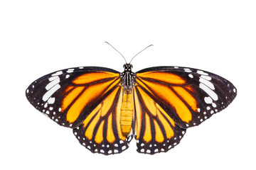 Isolated top view of common tiger butterfly on white