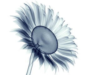 x-ray image of a flower isolated on white , the sunflower
