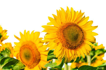 lush sunflowers on white