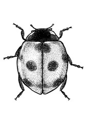 engraved, drawn illustration, Marybeetle, Ladybug, Ladybeetle,