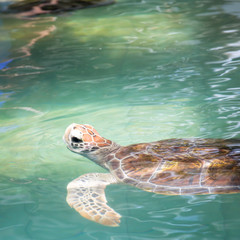 Turtle swimming in the sea ocean background