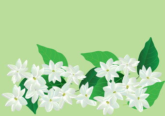 jasmine flowers,white flower with green leaves isolated