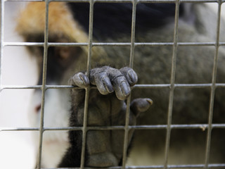 Close up of Debrazzaês monkey with hand on cage