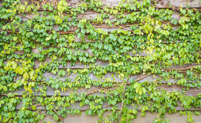 Green ivy leaves on the wooden wall background texture