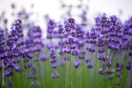 """""""Meadow Of Lavender. Nature Composition. Selective Focus"""