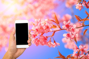 Hand hold smartphone on beautiful pink flower and blue sky background