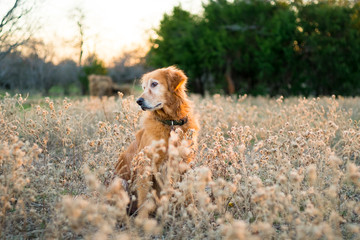 Senior dog in tall grass looking away
