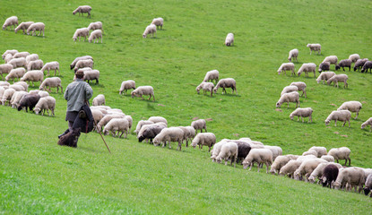 Shepherd with sheep herd