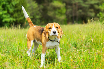 Beagle dog standing in grass