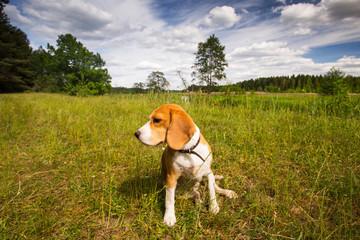 Beagle dog at hunting