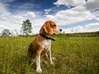 Beagle dog sitting in grass