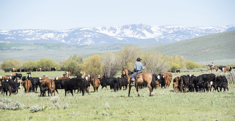 Cattle Drive in Colorado with Cowboys on Horseback