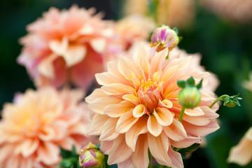 Dahlia orange and yellow flowers in garden full bloom closeup