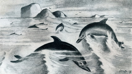 Common dolphin (Delphinus delphis or Delphinus capensis) from Brehm's Animal Life, 1927