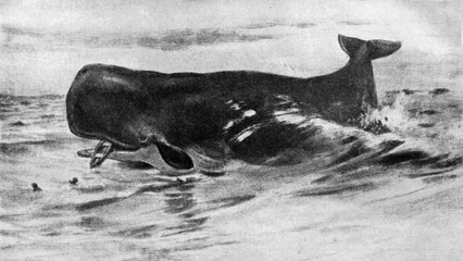 Sperm whale (Physeter macrocephalus) from Brehm's Animal Life, 1927