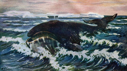 Bowhead whale (Balaena mysticetus) from Brehm's Animal Life, 1927