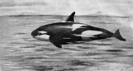 Killer whale (Orcinus orca) from Brehm's Animal Life, 1927