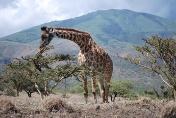Ngorongoro Krater Giraffe