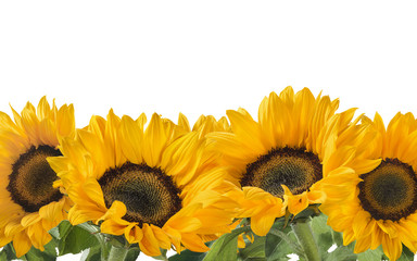 Horizontal sunflower line isolated on white background as package design element
