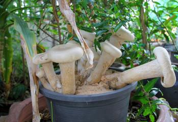 edible mushrooms in plastic plant pot