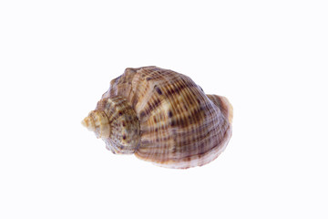 Sea snail isolated on a white background.