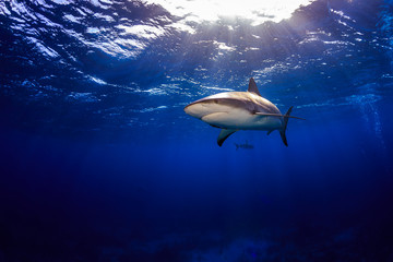 Caribbean reef shark swimming under the surface with sunbeams an