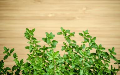 Closeup lemon thyme leaves from the herb garden. Thymus citriodo