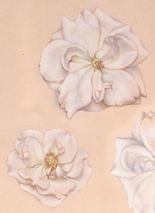 hand drawn roses. realistic pastel sketch of flowers. Nature study. artistic filigree colorful illustration