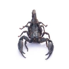 Giant Asian black scorpion isolated on white