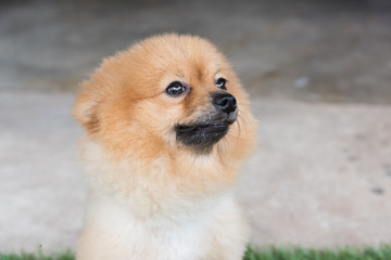 Pomeranian dog on green
