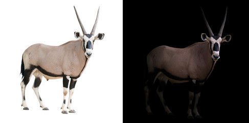 Foto op Canvas Antilope oryx or gemsbok in dark background