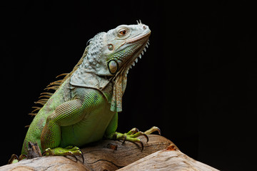 Iguana on dark background. Black and white image