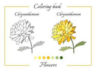 Coloring book with beautiful chrysanthemum flower. Cartoon vector illustration for children education.